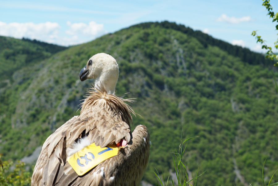 Dobrila-the-vulture-for-web
